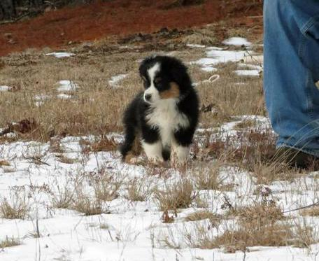 Mini american shepherds mini australian shepherds ofa eyes prelims hipelbows malvernweather Images